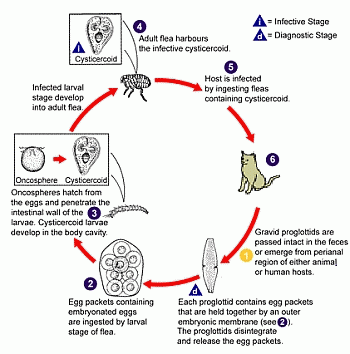 Help for flea infested cats and kittens what you need to know now cat flea life cycle ccuart Image collections