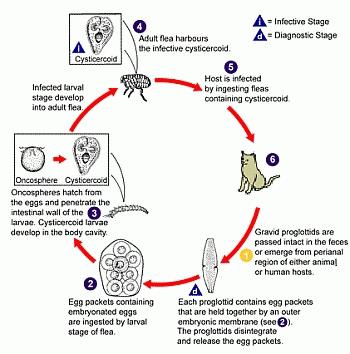 fleas, tapeworm, parasites