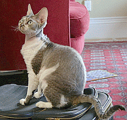 devon rex breed is known to be allergy friendly