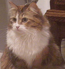 siberian cat is known to be allergy friendly