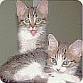 kitten vaccine schedule